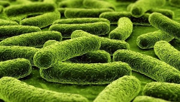 Bifidobacterium-lactis