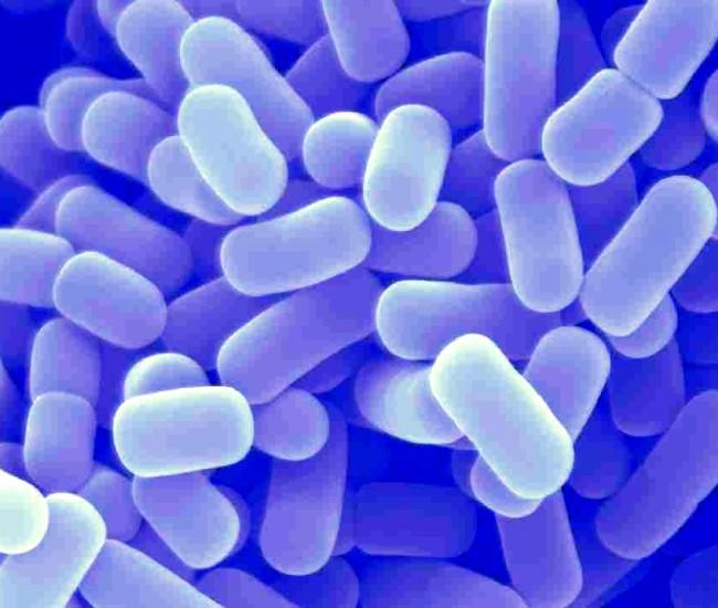 Lactobacillus-plantarum-650×550