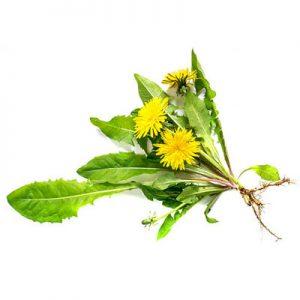 dandelion-leaf