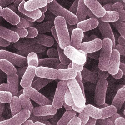 Lactobacillus-Helveticus