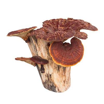 Reishi Mushroom 1